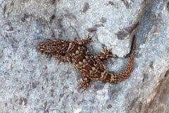 Τοίχος Gecko Boettger - boettgen Tarantola Στοκ φωτογραφία με δικαίωμα ελεύθερης χρήσης