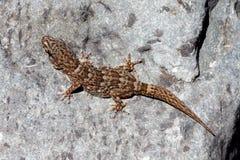 Τοίχος Gecko Boettger - boettgen Tarantola Στοκ Φωτογραφία