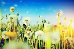 Τομέας άνοιξη με τα λουλούδια, πικραλίδες Στοκ Εικόνες