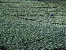 Τομέας λάχανων Στοκ Φωτογραφία