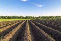 Τομέας αγροτών πατατών βλαστών Στοκ εικόνα με δικαίωμα ελεύθερης χρήσης