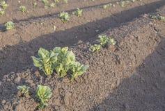Τομέας αγροτών πατατών βλαστών Στοκ φωτογραφία με δικαίωμα ελεύθερης χρήσης