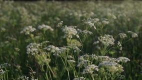 Τομέας, αυτιά, λιβάδι λουλουδιών απόθεμα βίντεο
