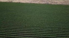 Τομέας βαμβακιού στην επαρχία απόθεμα βίντεο