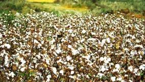 Τομέας βαμβακιού στο ηλιόλουστο χρώμα Στοκ Φωτογραφία