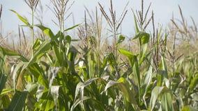 Τομέας ενός καλαμποκιού στην ηλιόλουστη ημέρα Ανάπτυξη καλαμποκιού Η οικολογική Farmer, οργανική δενδροκηποκομία, παράγοντας τα τ απόθεμα βίντεο