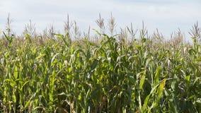 Τομέας ενός καλαμποκιού στην ηλιόλουστη ημέρα Ανάπτυξη καλαμποκιού Η οικολογική Farmer, οργανική δενδροκηποκομία, παράγοντας τα τ φιλμ μικρού μήκους