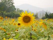 Τομέας ηλίανθων πέρα από το νεφελώδη μπλε ουρανό και τα φωτεινά φω'τα ήλιων Υπαίθριος, αγρόκτημα στοκ εικόνα