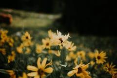 Τομέας ηλίανθων στη λεκάνη albion στοκ φωτογραφία με δικαίωμα ελεύθερης χρήσης