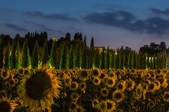 Τομέας ηλίανθων στο σούρουπο με τον ουρανό λουλακιού, Ουμβρία, Ιταλία Στοκ Φωτογραφίες