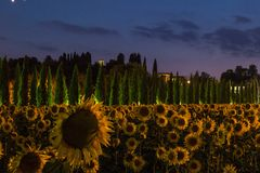Τομέας ηλίανθων στο σούρουπο με τον ουρανό λουλακιού, Ουμβρία, Ιταλία Στοκ φωτογραφίες με δικαίωμα ελεύθερης χρήσης