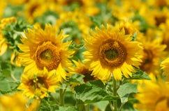 Τομέας ηλίανθων, κίτρινη κινηματογράφηση σε πρώτο πλάνο λουλουδιών, όμορφο θερινό τοπίο Στοκ φωτογραφία με δικαίωμα ελεύθερης χρήσης