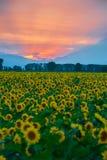 Τομέας ηλίανθων στο ηλιοβασίλεμα στοκ εικόνες με δικαίωμα ελεύθερης χρήσης