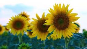 Τομέας ηλίανθων το καλοκαίρι σε Valensole απόθεμα βίντεο