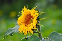 Τομέας θερινών λουλουδιών ηλίανθων πράσινος Στοκ φωτογραφία με δικαίωμα ελεύθερης χρήσης