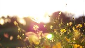 Τομέας λιβαδιών άνοιξη από τον ποταμό, κίτρινη κινηματογράφηση σε πρώτο πλάνο λουλουδιών ενάντια στον ουρανό ηλιοβασιλέματος απόθεμα βίντεο