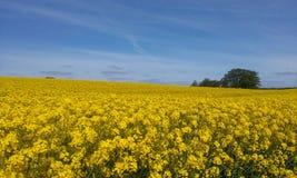 Τομέας και μπλε ουρανός Δανία συναπόσπορων Στοκ εικόνες με δικαίωμα ελεύθερης χρήσης