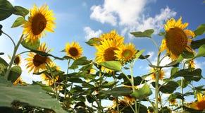 Τομέας και μπλε ουρανός ηλίανθων Στοκ φωτογραφία με δικαίωμα ελεύθερης χρήσης