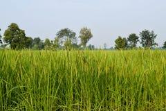 Τομέας και ουρανός ρυζιού στοκ εικόνες