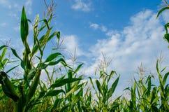 Τομέας καλαμποκιού και μπλε νεφελώδης ουρανός στοκ εικόνα με δικαίωμα ελεύθερης χρήσης