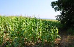 Τομέας καλαμποκιού στην αγροτική Πενσυλβανία στοκ φωτογραφίες