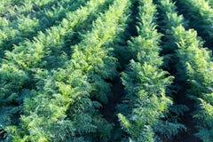 Τομέας καρότων Πράσινες σειρές στον τομέα καρότων Στοκ Εικόνα
