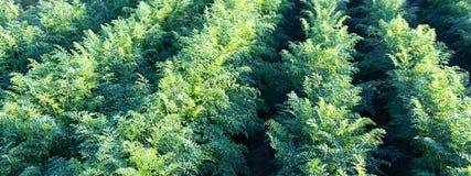 Τομέας καρότων Πράσινες σειρές στον τομέα καρότων Στοκ Εικόνες