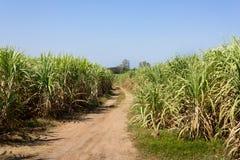Τομέας καλάμων ζάχαρης στοκ εικόνες