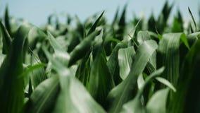 Τομέας καλαμποκιού στον αέρα την ηλιόλουστη ημέρα άνοιξη απόθεμα βίντεο