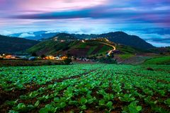 Τομέας κινεζικών λάχανων στην αγροτική ζωή Στοκ φωτογραφία με δικαίωμα ελεύθερης χρήσης