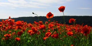 Τομέας λουλουδιών παπαρουνών, συγκομιδή στοκ φωτογραφίες