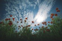 Τομέας λουλουδιών παπαρουνών, συγκομιδή στοκ εικόνες