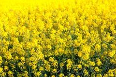 Τομέας λουλουδιών των φρέσκων κίτρινων βιασμών Στοκ εικόνα με δικαίωμα ελεύθερης χρήσης
