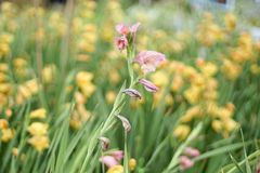 Τομέας λουλουδιών Canna Στοκ Φωτογραφία