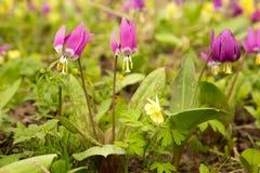 Τομέας λουλούδι πεδίων πρώτη άνοιξη λουλουδιών Στοκ εικόνες με δικαίωμα ελεύθερης χρήσης