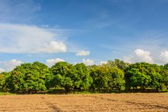 Τομέας μάγκο, αγρόκτημα μάγκο με το υπόβαθρο μπλε ουρανού Γεωργικό con Στοκ φωτογραφία με δικαίωμα ελεύθερης χρήσης