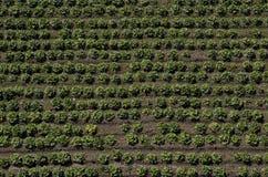 Τομέας μαρουλιού, γεωργικός τομέας Στοκ φωτογραφίες με δικαίωμα ελεύθερης χρήσης