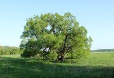 Τομέας, μεγάλοι δέντρο και μπλε ουρανός Στοκ εικόνα με δικαίωμα ελεύθερης χρήσης