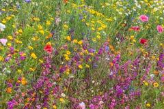 Τομέας με τα ζωηρόχρωμα wildflowers την άνοιξη Στοκ Εικόνες