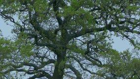 Τομέας με τα μεγάλα δέντρα στο θυελλώδες αγροτικό τοπίο φιλμ μικρού μήκους