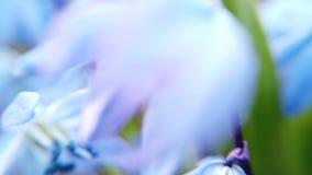 Τομέας με τα μπλε λουλούδια Scylla απόθεμα βίντεο