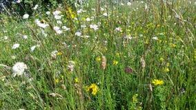 Τομέας με τα λουλούδια μαργαριτών Στοκ φωτογραφία με δικαίωμα ελεύθερης χρήσης