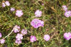 Τομέας με τα λουλούδια plumarius dianthus Στοκ εικόνες με δικαίωμα ελεύθερης χρήσης