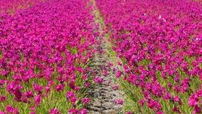 Τομέας με τα ρόδινα λουλούδια στην Ολλανδία απόθεμα βίντεο