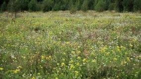 τομέας με τα wildflowers Καλοκαίρι, απόθεμα βίντεο