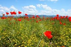 Τομέας με την πράσινη χλόη, τα κίτρινα λουλούδια και τις κόκκινες παπαρούνες στοκ εικόνες με δικαίωμα ελεύθερης χρήσης