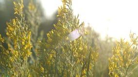 Τομέας με τις άγριες χλόες στο ηλιοβασίλεμα Όμορφο θερινό τοπίο, αγροτική φύση απόθεμα βίντεο