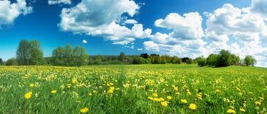 Τομέας με τις πικραλίδες και το μπλε ουρανό Στοκ Εικόνες