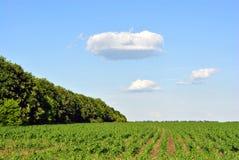 Τομέας με τις πράσινες σειρές εγκαταστάσεων καλαμποκιού στους λόφους κοντά στη γραμμή δέντρων Στοκ φωτογραφία με δικαίωμα ελεύθερης χρήσης