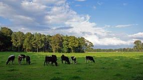 Τομέας με τις frisian αγελάδες στο Duivelshof σε Losser Στοκ Φωτογραφίες